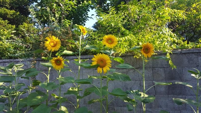 夏のランコントル畑